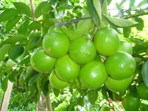Seedless-lemon-fam
