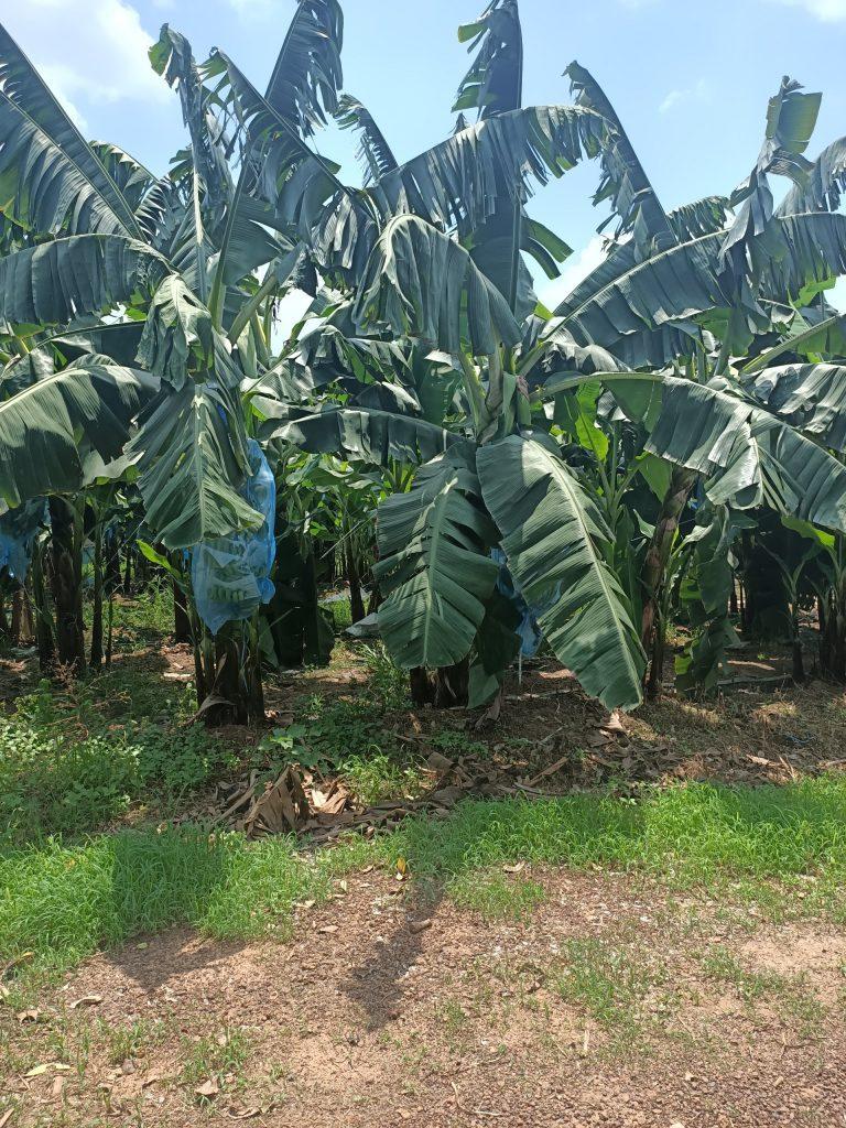 Banana-leaves-farm-of-Truc-Lam-Phat-Company