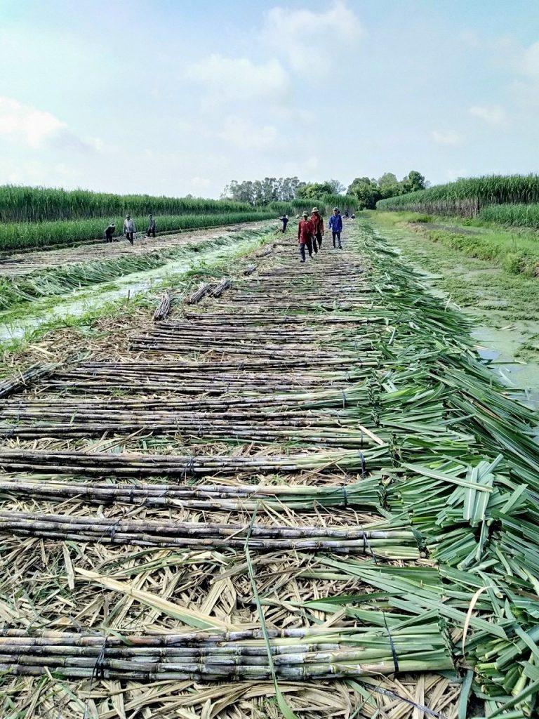 Harvest-sugarcane-at-Truc-Lam-Phat-farm